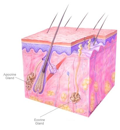 Esquema anatómico de las glándulas sudoríparas