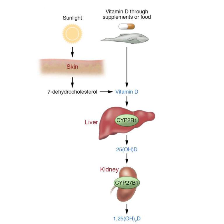 Vías metabólicas y enzimáticas de como se forma la vitamina D o vitamina del sol